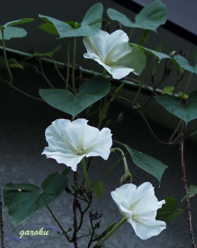 夏の夕顔の花