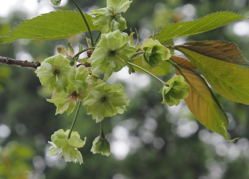 緑の桜_ギョイコウ(御衣黄)