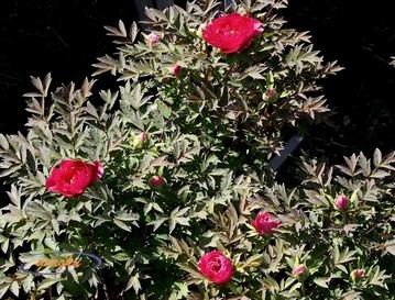 2.牡丹(赤)