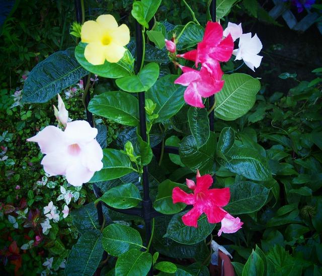 四色揃い咲き_8.19