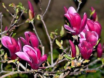 3.紫木蓮
