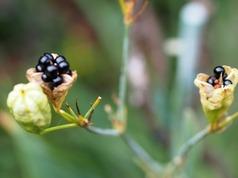 1.ぬがたま(檜扇の種)