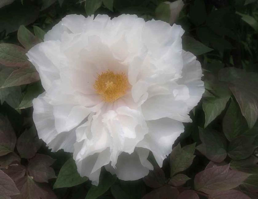 白の牡丹_4.29