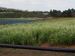 5.蕎麦の畑