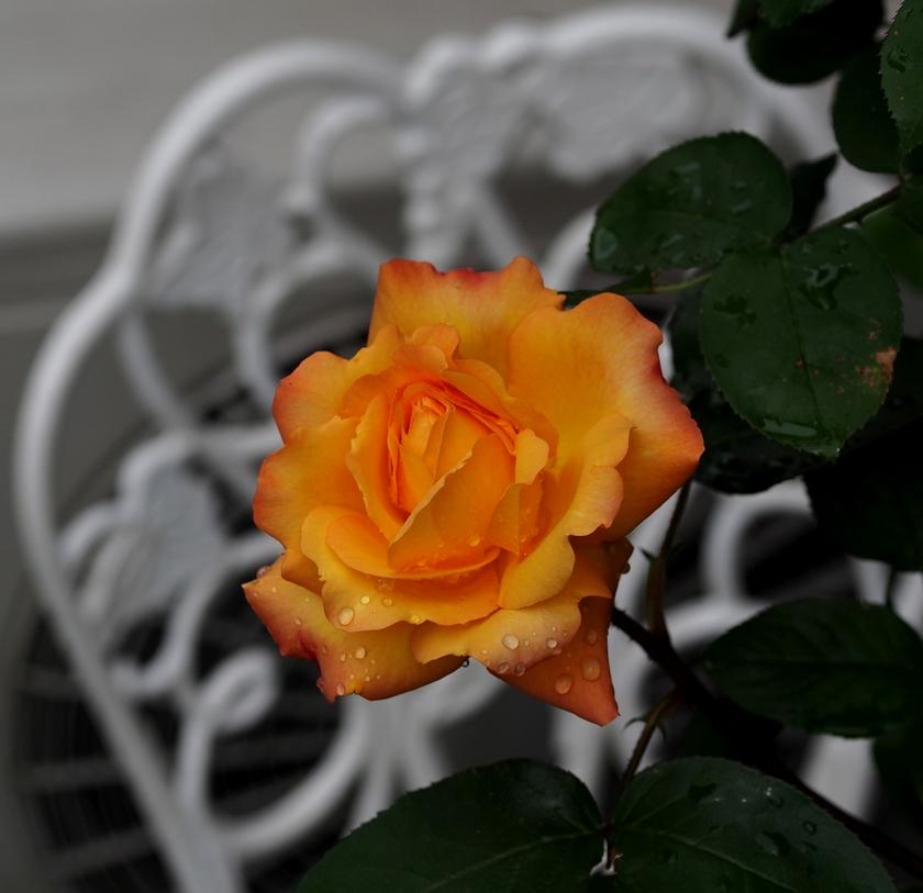 アンネフランクの薔薇(FL)_3