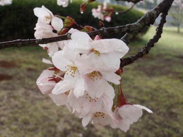 8分咲きの桜