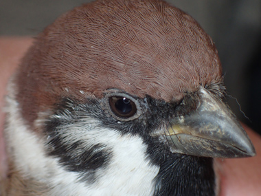 2016sparrow06-1[1]