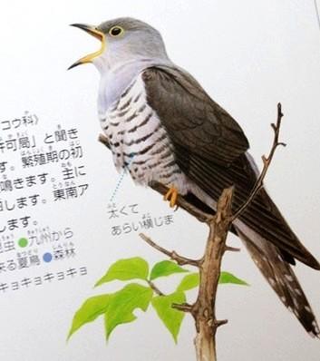 ホトトギ_鳥