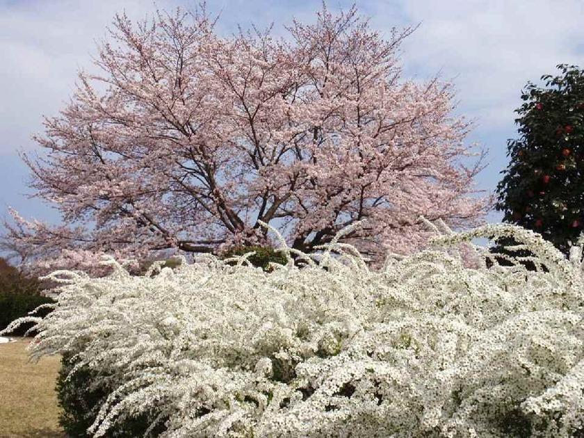 桜・雪柳・椿