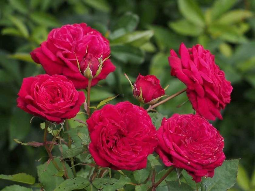 ロゼットのミニ薔薇
