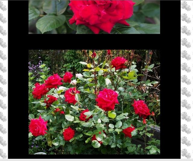 四季の庭_薔薇の園の詳細頁(3)