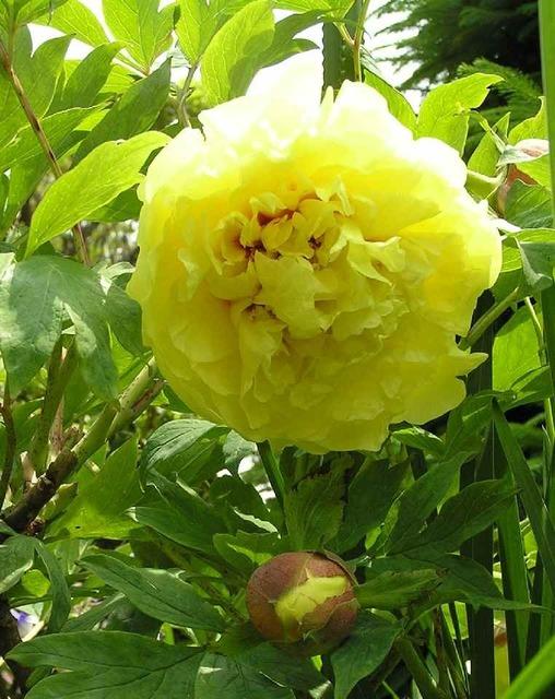 牡丹(黄色)