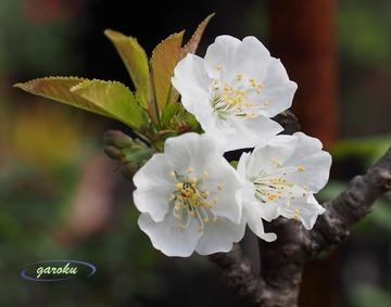サクランボの桜(2)