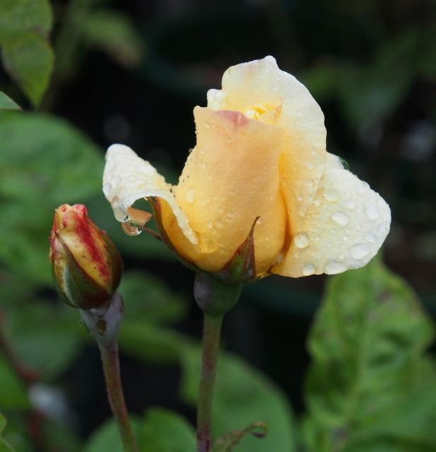 Yellow Queen Elizabeth_6.06-0092