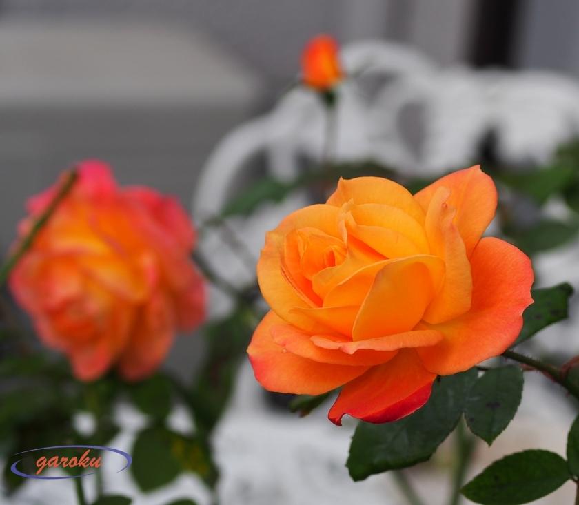 アンネフランクの薔薇