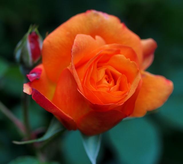 咲き始めの真紅
