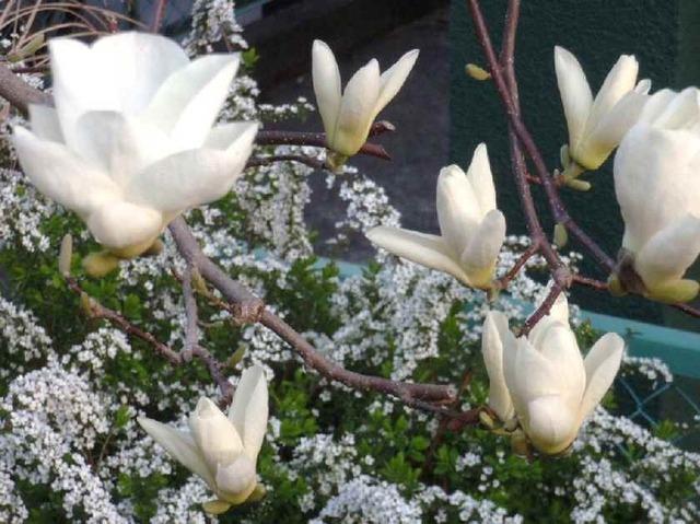 白木蓮と雪柳
