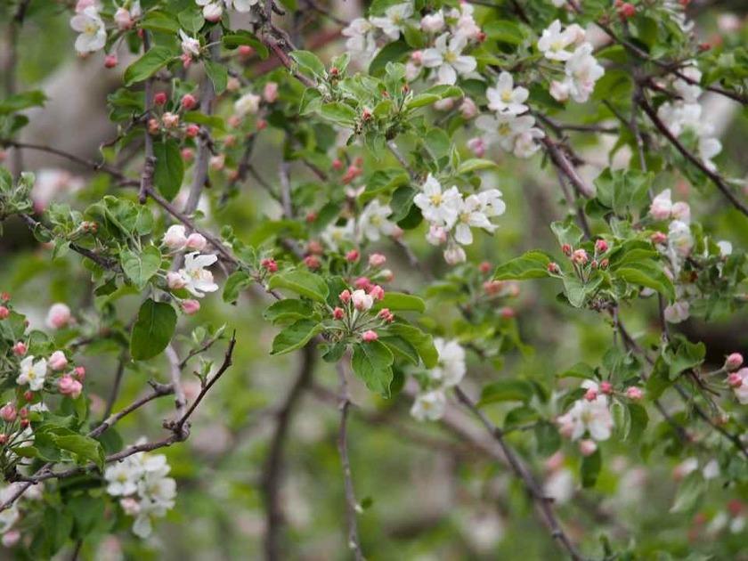 リンゴの花_4.30
