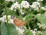 蕎麦花と蝶