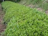 茶畑a-1010312
