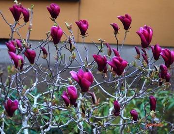 2.紫木蓮