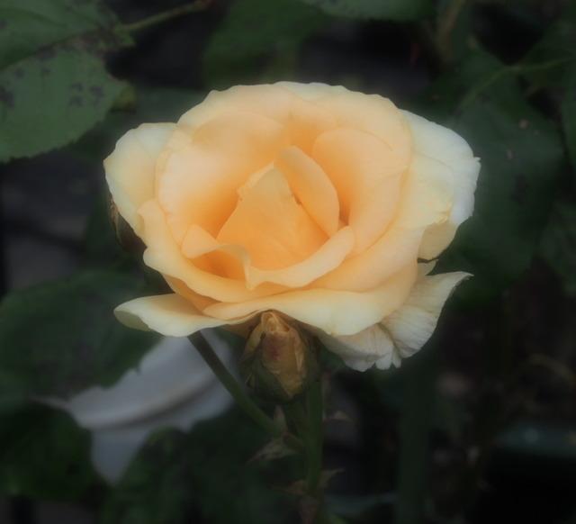 Yellow Queen Elizabeth_6.05-0039