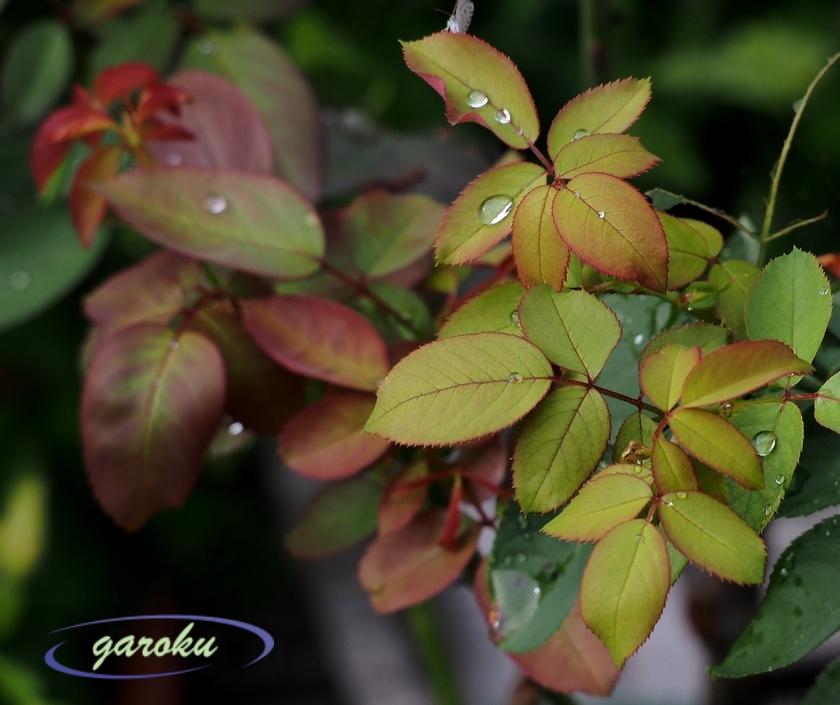 秋薔薇の若葉