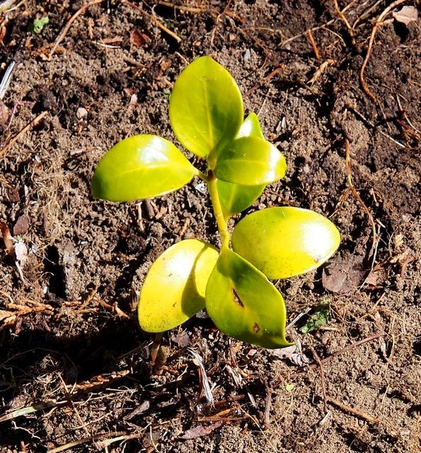 5.しきびの新芽