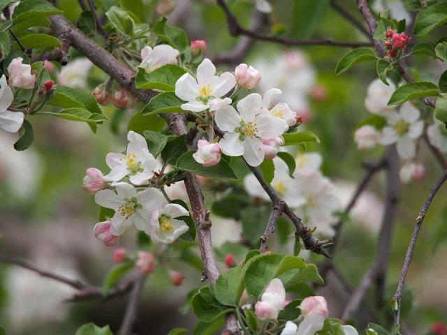リンゴの花_4.30a