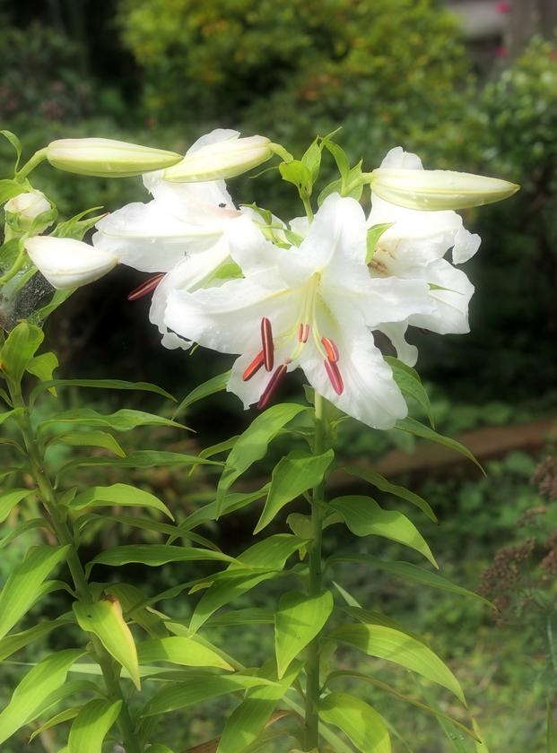 カサブランカ_開花