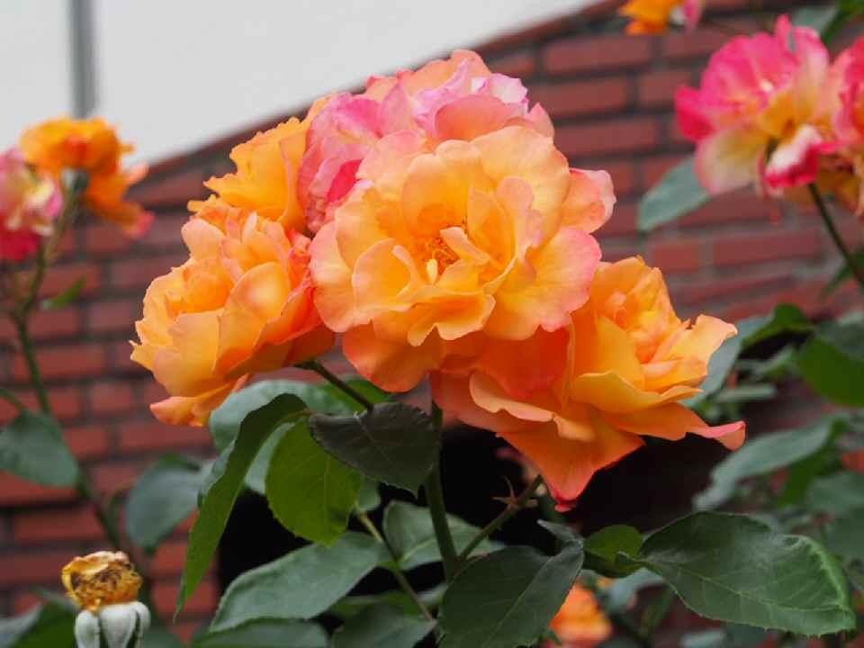 キリスト教大学_アンネの薔薇