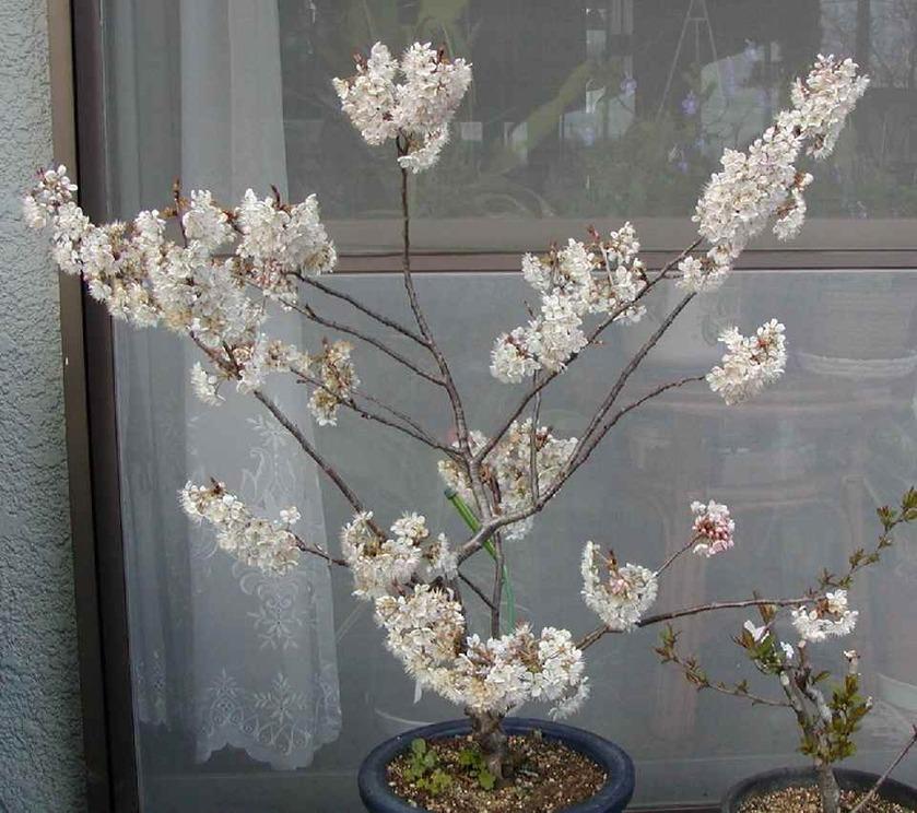 鉢植えの桜
