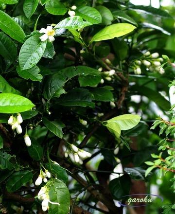 4.レモンの木