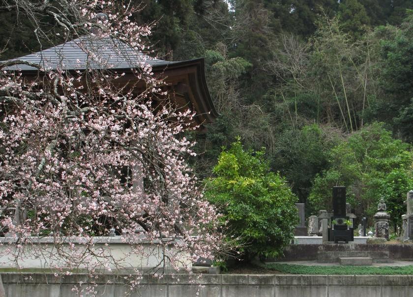 鐘楼の前の梅