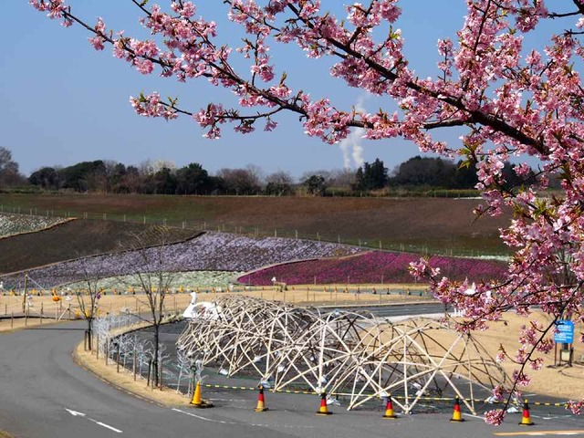 河津桜と芝桜_3.15