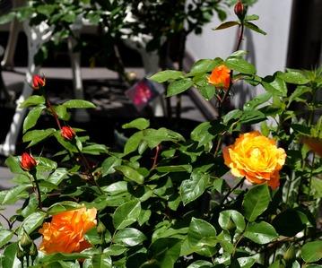 アンネフランクの薔薇(FL)