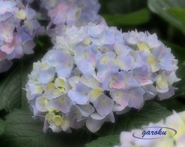 07.西洋紫陽花_2