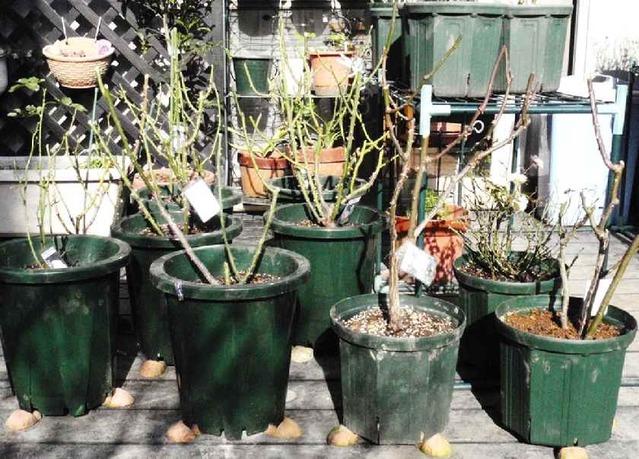 鉢植のバラ