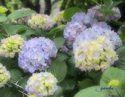 07.西洋紫陽花