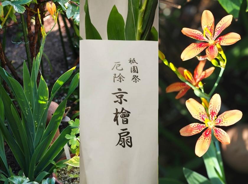 祇園祭りの花_檜扇