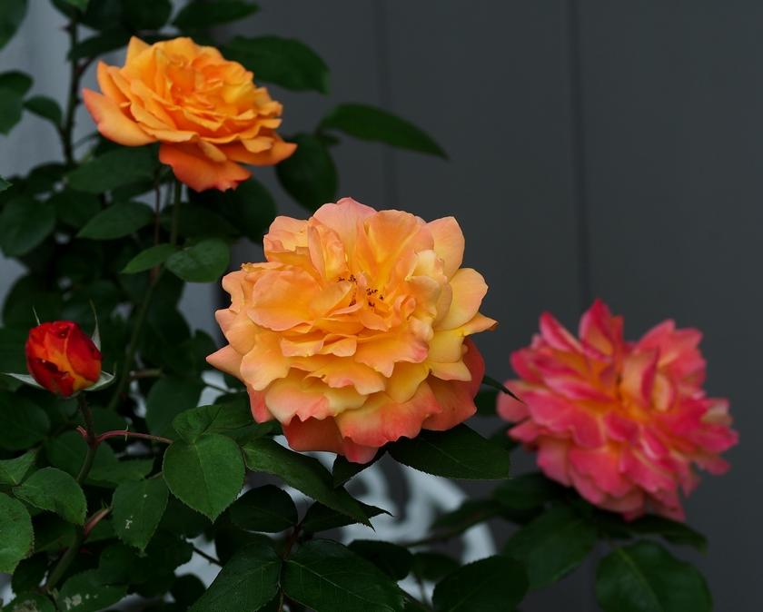 アンネフランクの薔薇(FL)_2