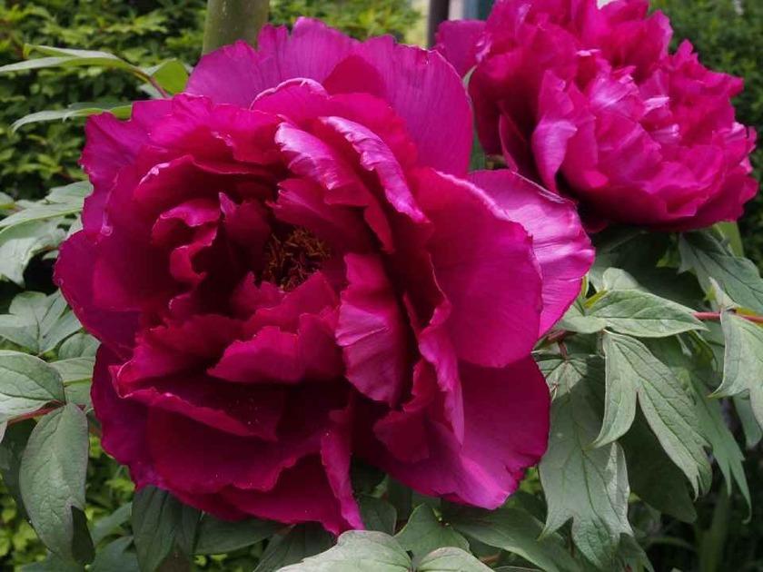 紫の牡丹_4.29