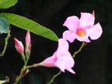 manndebira