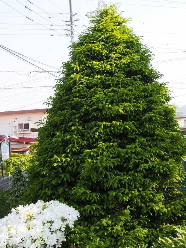 モミの木とツツジ_5.09