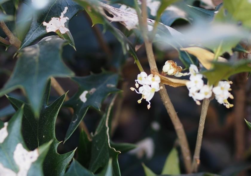 柊(ヒイラギ)の花