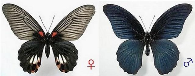 ナガサキアゲハ[♀♂]