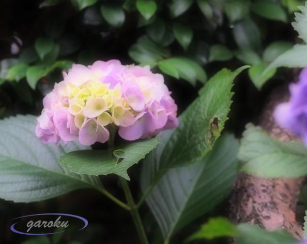 手毬咲きの紫陽花