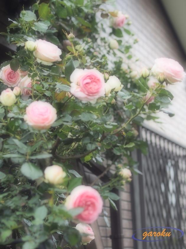 2.ピエール・ドゥ・ロンサール(CL)_2