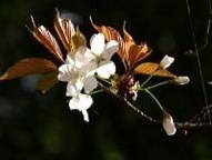 白山桜(天然記念物)