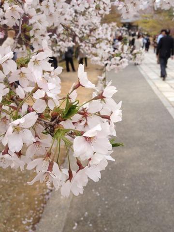 cherry niwadera